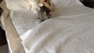 Moving object under sheets intrigues cat - Video