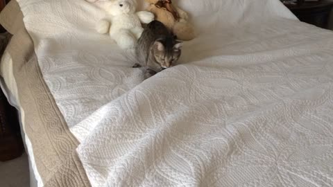 Moving object under sheets intrigues cat