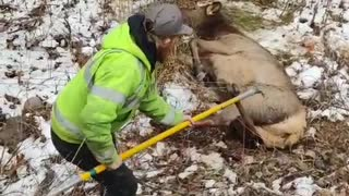 Elk Freed From Fence