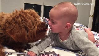 Brown dog licking baby