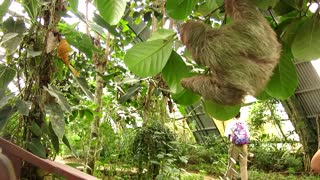 Orphaned and Captive Three-Toed Sloth - Video