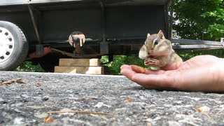 Adorable chipmunk stuffs cheeks with almonds - Video