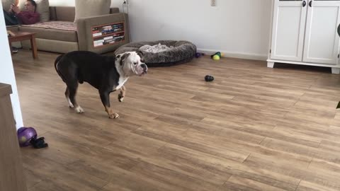 Bulldog freaks out cause there's something in the living room that wasn't there before