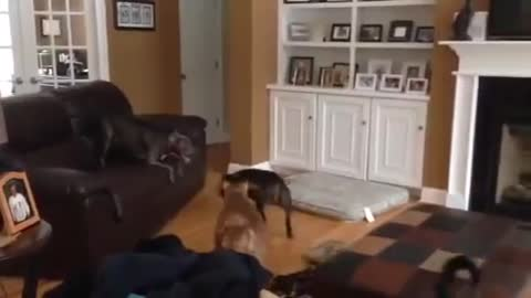 Dog playing lava in a living room
