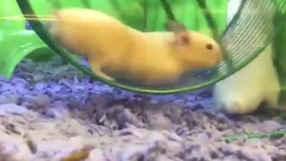 Hamster Gets Stuck In Running Wheel - Video