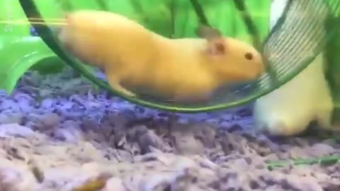 Hamster Gets Stuck In Running Wheel