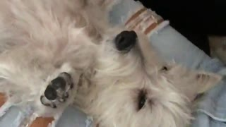 White dog laying between girls ripped blue jeans on back - Video