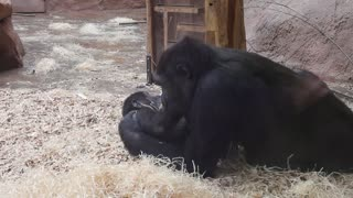 Two young gorillas caught playfighting