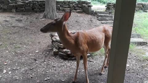 Pet deer stops by for a chat.