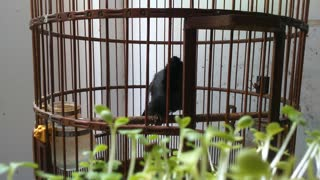 Hot of a bird KHUOU in a cage - Video
