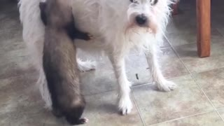 Sneaky Ferret Hitches Ride On Puppy's Caboose - Video