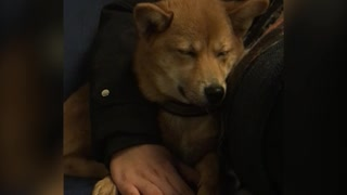 Puppy Struggles To Stay Awake While Cuddling With Owner