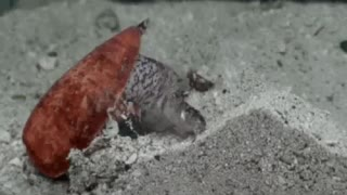 Cone Snails eating fish