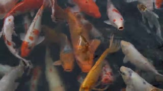 Amazing Fish Video Clips