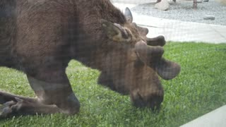 Lawn Mower Moose - Video