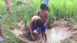 Awesome Hand Catching Fish - Catch A Lot Of Fish At Rice Field