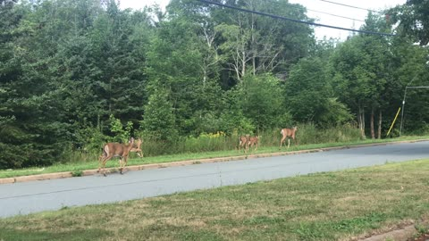 Family of five deer wondering through the subdivision