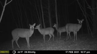 Fat Raccoon with Whitetail Deer