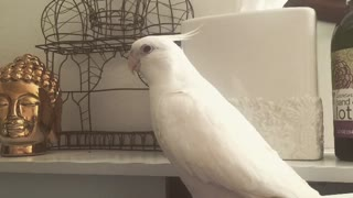 Cockatiel asks for kisses, complete with smooching noises - Video