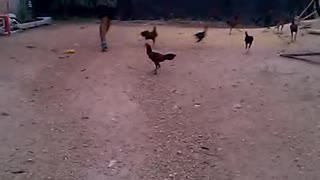 The Running of the Chickens - Video
