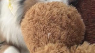 Dog holding on to stuffed animal  - Video