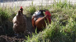Watch a great video of a rooster and a group of chickens