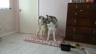 Husky and lamb battle for bed