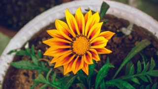 Time Lapse Footage Of A Sun Flower Blooming