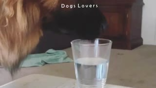 A Dog Drinks A Glass Of Water