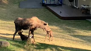 Moose Gives Birth in Alaskan Backyard
