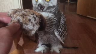 Snowy owl  - Video