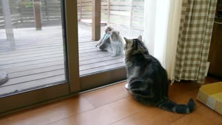 Maru the Cat Calmly Examines Monkeys As They Say Hello Then Steal a Sandal! - Video