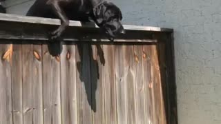 Dog Scales Fence - Video