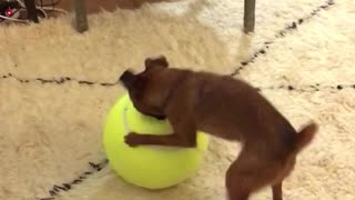 Small brown dog tries to bite giant yellow tennis ball