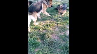 German Shepherd Puppy Dog Meet Big Brother New Friend Big Boy