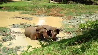 Happy elephants at Thai sanctuary scream in excitement