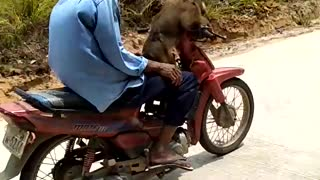 Monkey Rides Motorcycle - Video