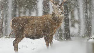 Winter Wildlife Captured By Scottish Photographer - Video