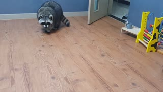 Raccoon was surprised to see the robot vacuum cleaner approaching