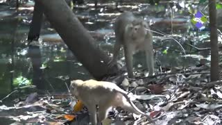 Monkeys finding something in water  - Video