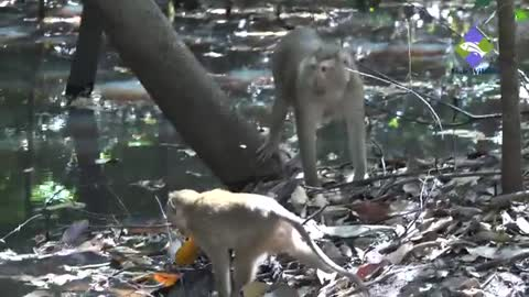 Monkeys finding something in water