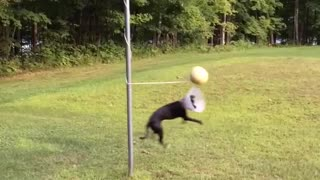 Black dog in cone playing tetherball