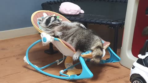 Raccoon is lying on the baby's reclined cradle, breathing softly.