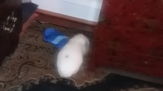 White guinea pig walking and smelling around carpet  - Video