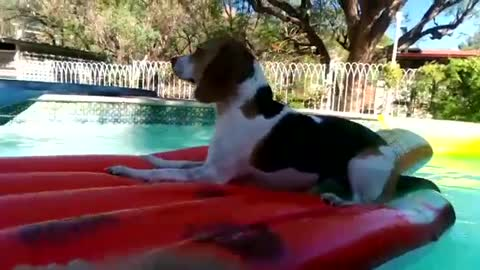 Eager Beagle dog enjoying her float without getting her paws wet!