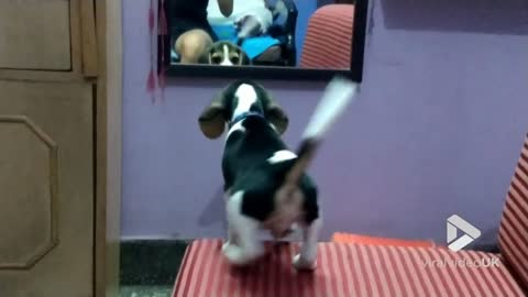 Puppy gets confused by mirror