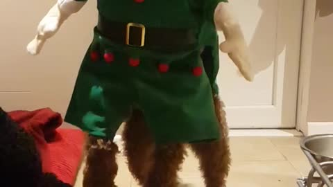 Brown dog in a elf costume