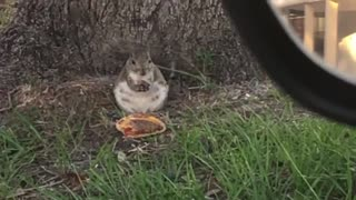 Squirrel eats McDonalds Cheeseburger