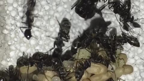 Group Of ants collecting food for winter
