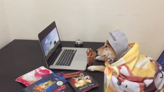 Shiba Inu watches TV shows like a human! - Video